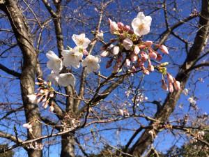20150327 桜開花