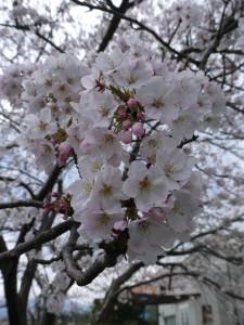 20150401 桜満開 (8)
