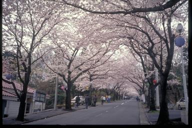 0064 桜並木  縮小.jpg