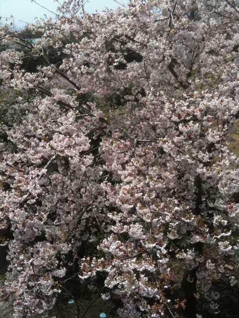 20100403 桜9分咲き 203号室より