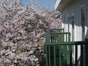 20170415桜