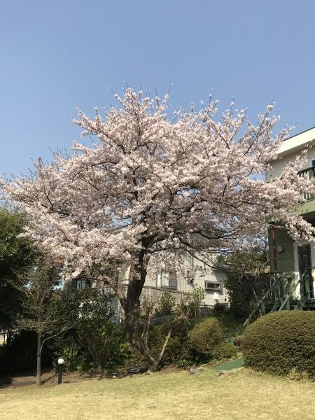 20190408 アルシオン 桜 (29)