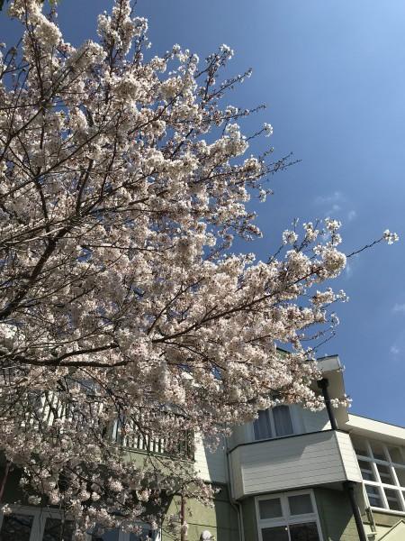20190408 アルシオン 桜 (15)